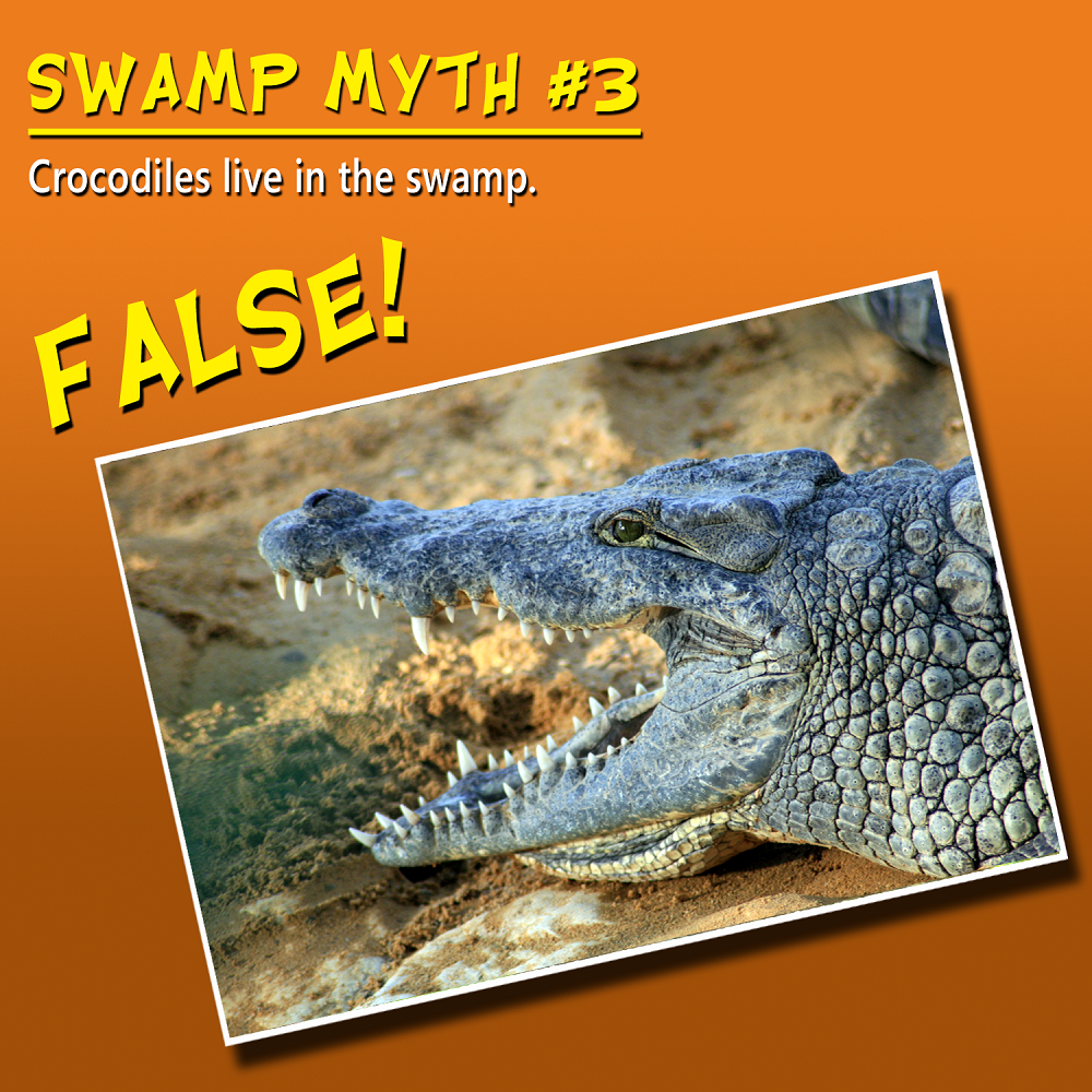 swamp crocodiles