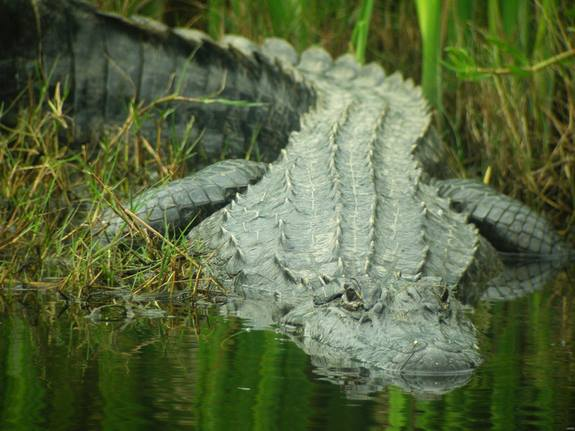 swamp alligator